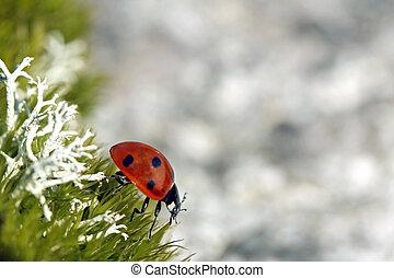 manchado, mariquita, Siete,  septempunctata),  (coccinella