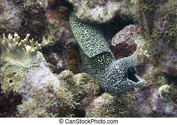 manchado, moray, respiración, anguila