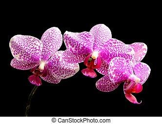 manchado, moth, -phalaenopsis, híbrido, orquídea