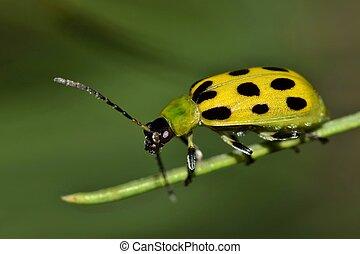 manchado, pepino, pino, needle., escarabajo