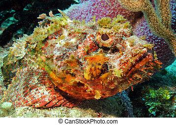 manchado, primer plano, méxico, (scorpaena, cozumel, scorpionfish, plumieri)
