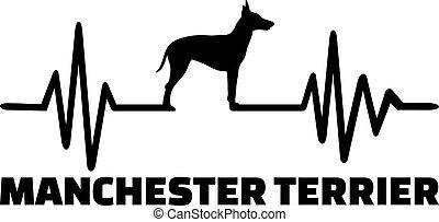 manchester, terrier, mot, pulsation
