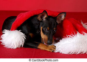 puppy chewing on santa hat