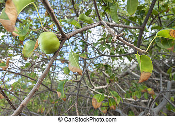 Manchineel fruit on tree - Ripe green Hippomane mancinella ...