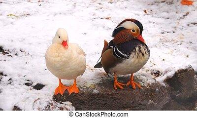 mandarin, arrière-plan., blanc, canard