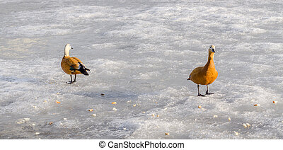 Couple of Mandarin ducks are feeding on frozen pond. Sunny winter day. Copy space