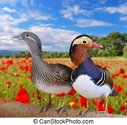 Mandarin ducks. - Pair mandarin ducks  in a field poppies.