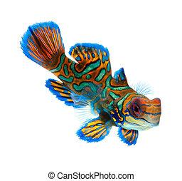 mandarin fish dragonet isolated on white background