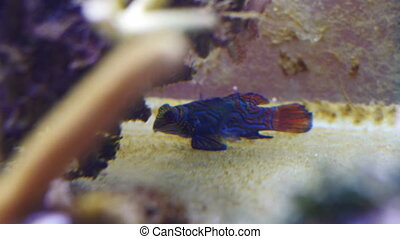 Mandarin fish in coral reef