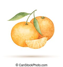 Mandarin hand drawn watercolor, on a white background. Vector illustration.