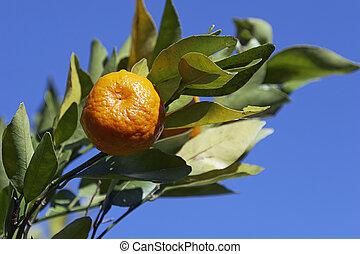 Mandarin on a branch