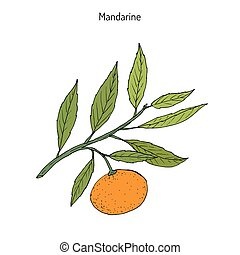 Mandarin orange Citrus reticulata branch with leaves. Hand drawn botanical vector illustration