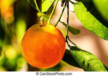 Mandarin Orange Hanging on Tree - Mandarin orange hanging on...