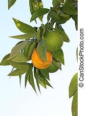 Mandarin - This is a photo of mandarin tree