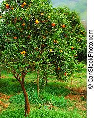 Mandarin tree - Ripe mandarin tree growing in the farm...