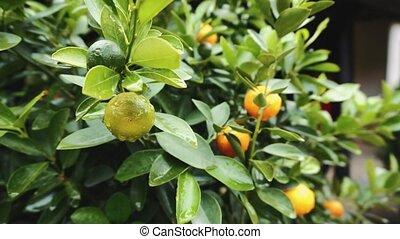 Mandarin tree. Hue Vietnam Asia