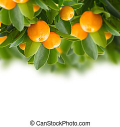 mandarina, árbol
