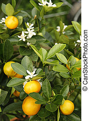 mandarine, arbre