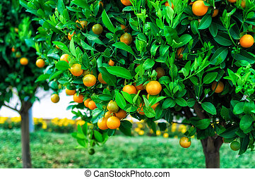 mandarine, branches, arbres, fruits
