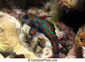 Mandarinfish (Synchiropus Splendidus), Lembeh Strait,...