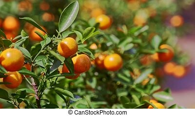 Mandarins with Sun Brightness on Sides in Tree Leaves