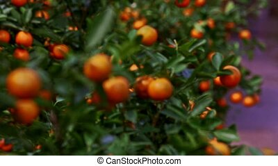 Mandarins with Sun Brightness on Sides Wind Shakes Leaves -...