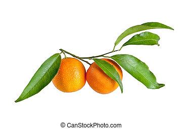 mandaryn, świeży, biały, liść, odizolowany