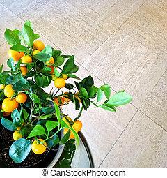 mandarynka, drzewo, w, niejaki, garnek