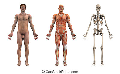 mandlig, anatomical, overlays, -, voksen