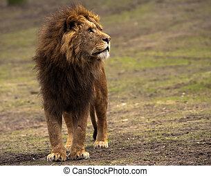 mandlig løve