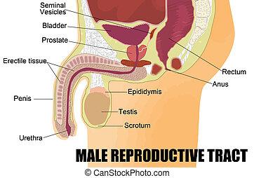 mandlig, reproducerende system