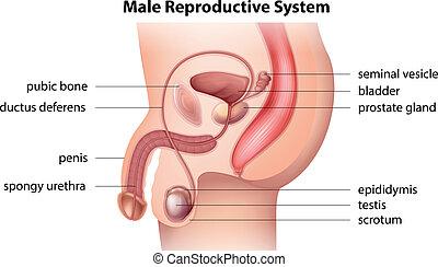 mandlig, system, reproducerende