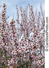 mandorla, fiore, albero, campo, in, stagione primaverile