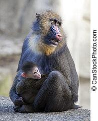 mandrill, mãe, com, dela, bebê