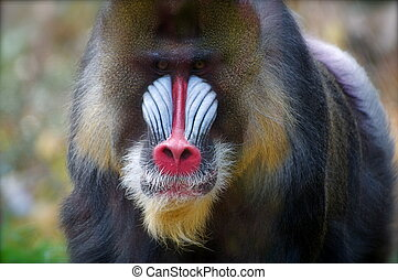Mandrill Monkey - A large male mandrill looks on at the...