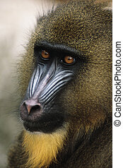 Mandrill (Papio sphinx) Native to small area of western...