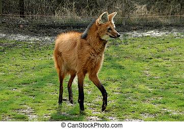 Walking maned wolf in Szeged Zoo