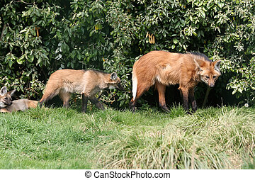 maned wolf with pup