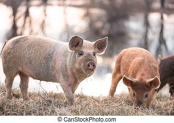Mangalitsa little pig on the field