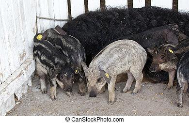 Mangalitsa piglets in pen