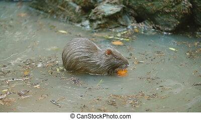 mange, castor, carotte