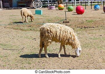 mange, ferme mouton