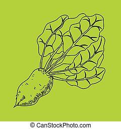 Mangelwurzel, a root vegetable, line illustration. Vector