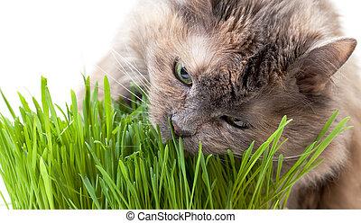 manger, chouchou, chat, herbe, arrière-plan., frais, blanc