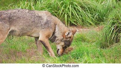 manger, forêt, viande, loup