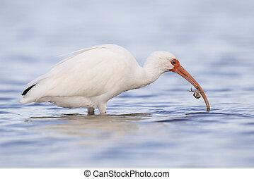 manger, ibis, soto, de, floride, -, parc, crabe, blanc, fort