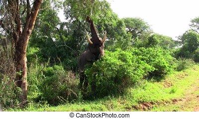 manger, ou, arbre, pâturage, éléphant