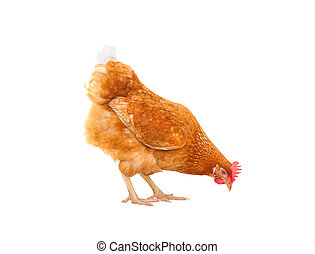 manger, poule, haut, isolé, quelque chose, fond, fin, blanc, poulet