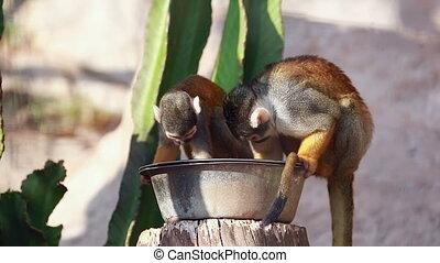 manger, singes écureuil
