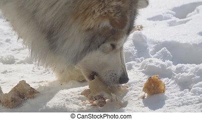 manger, viande, errant, grand, neige, chien, métis